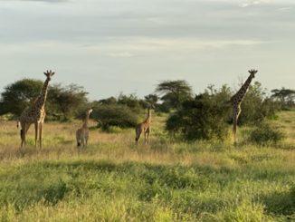 giraffes in Amboseli