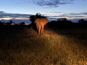 bull elephant at night